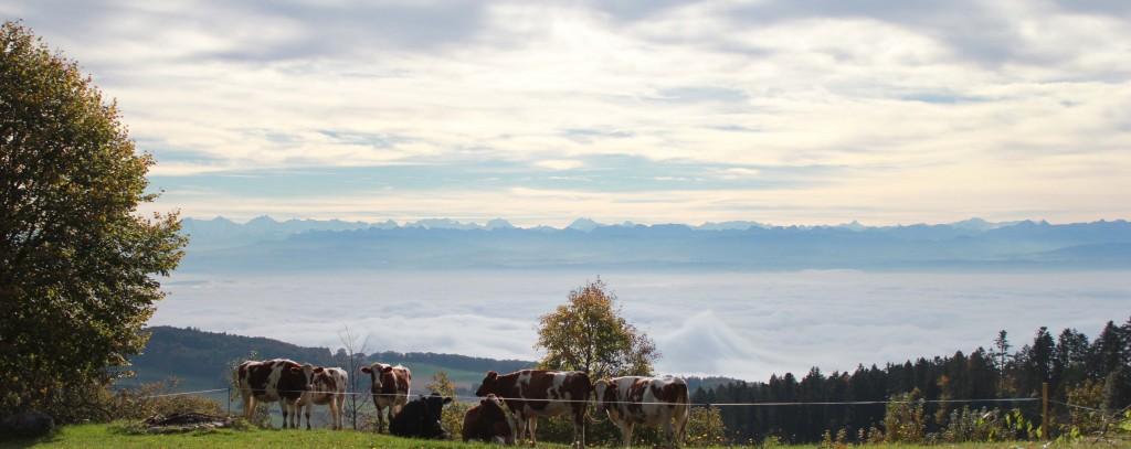 Vue alpes avec vaches 1
